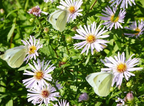 20200921-butterflies-007_600